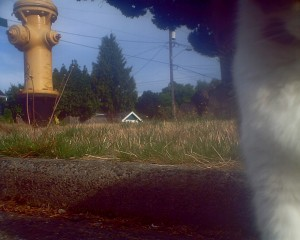 """Fire Marshall""  We're not sure who this neighbor cat is, but he seems to guard the fire hydrant with authority!"